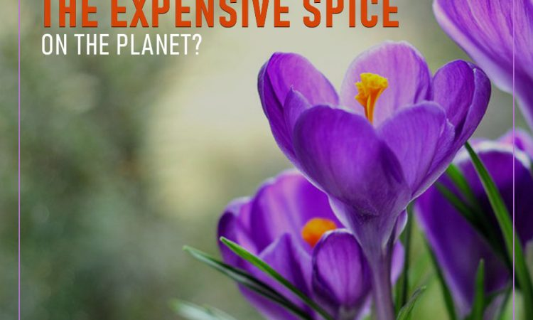 Saffron - An expensive spice on the planet
